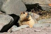 Photo Marmot, India
