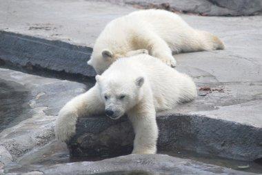 Two white bear cub lying on stones