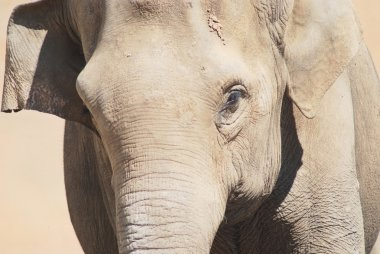 Close up of the head and eye of an asian elephant