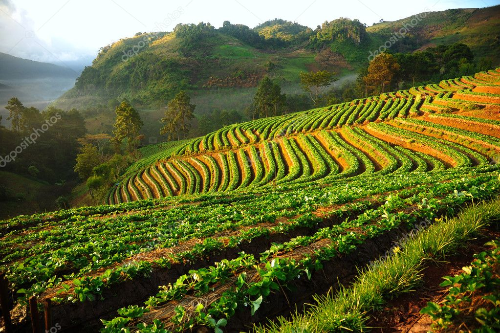 Beautiful landscape and fresh strawberries farm in winter at Chiangmai : Thailand