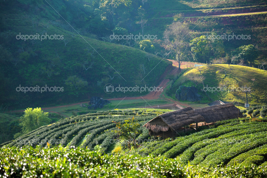 Beautiful landscape and fresh green tea farm in winter at Chiangmai : Thailand