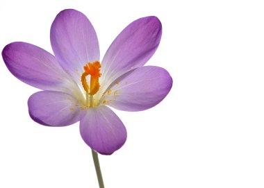Purple crocus spring flower