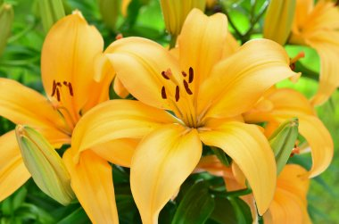 Yellow lily flowers, Lilium