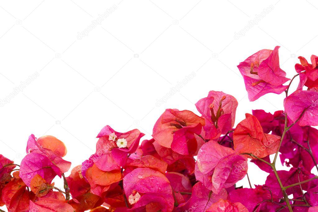 Bougainvillea flowers frame