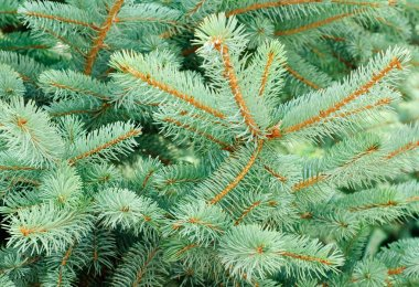 Blue Spruce Tree Branches as background