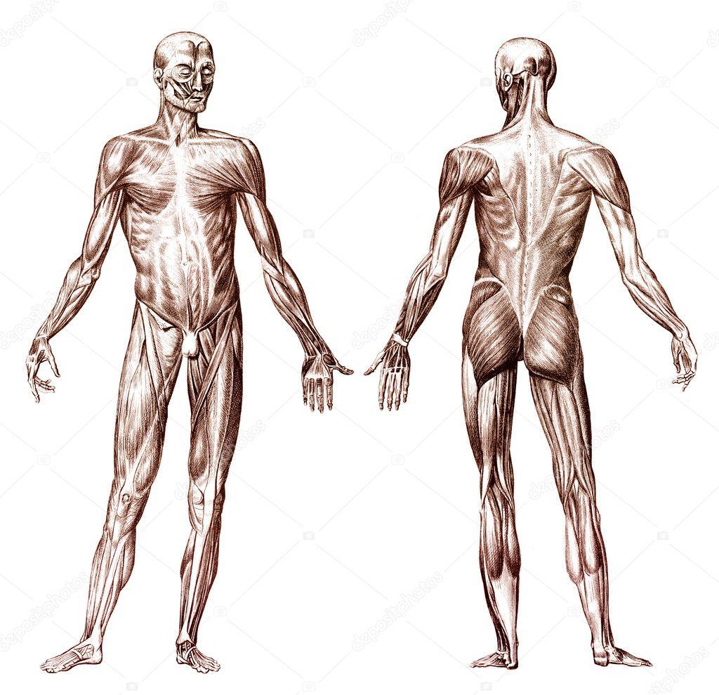sistema muscular humano — Fotos de Stock © anterovium #10829171