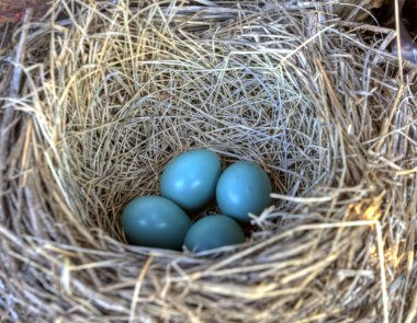 Robins nest in old tractor