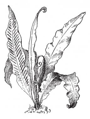 Hart's Tongue Fern or Asplenium scolopendrium, vintage engraving