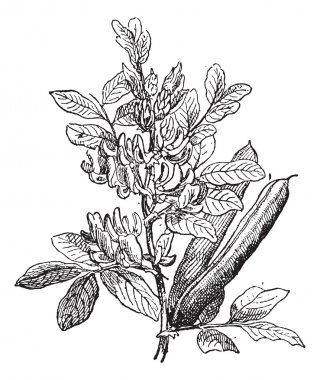 Fava Bean or Vicia faba, vintage engraving