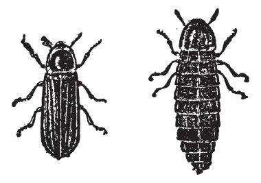 Firefly or Lampyridae, vintage engraving