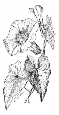 Bindweed or Convolvulus sp., vintage engraving