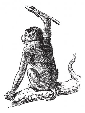 Macaque or Macaca sp., vintage engraving