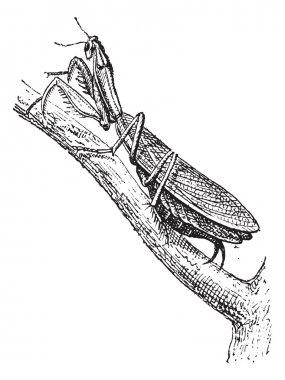 Praying Mantis or Mantis religiosa, vintage engraving