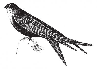 Swifts or Apodidae, vintage engraving