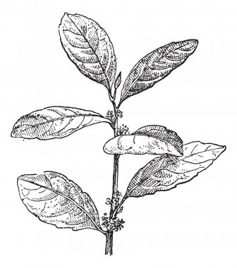 Yerba Mate or Ilex paraguariensis, vintage engraving