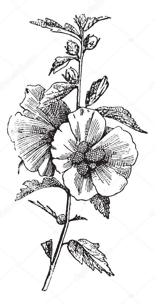 Gravur Hibiskus (Hisbiscus Syriacus), vintage — Stockvektor ...