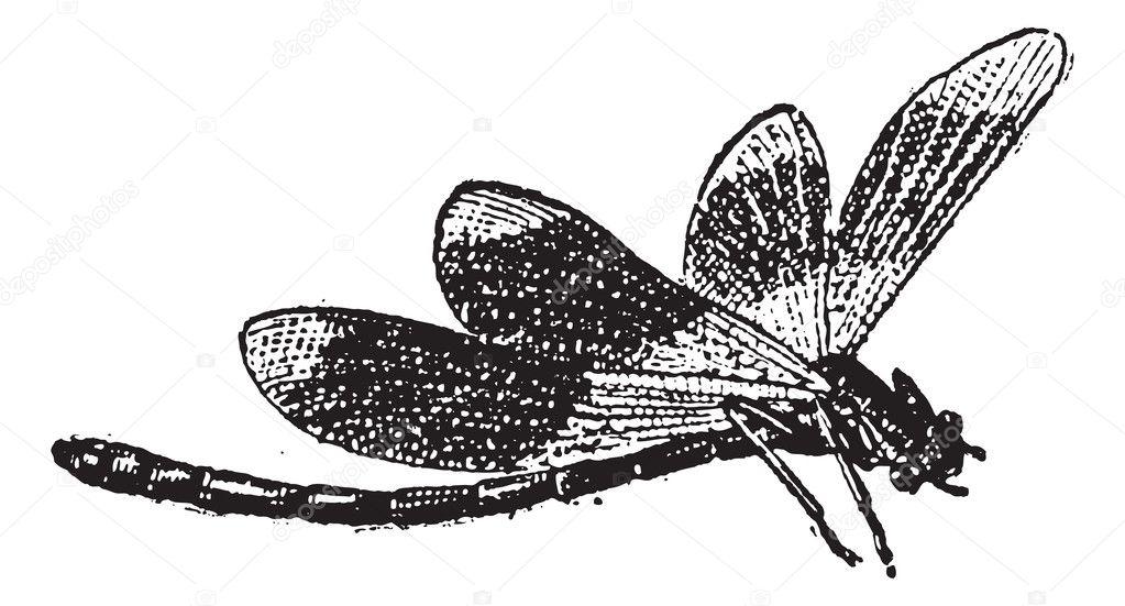Dragonfly, vintage engraving