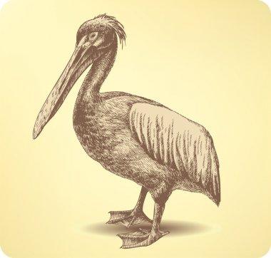 Pelican Bird, hand drawing. Vector illustration.