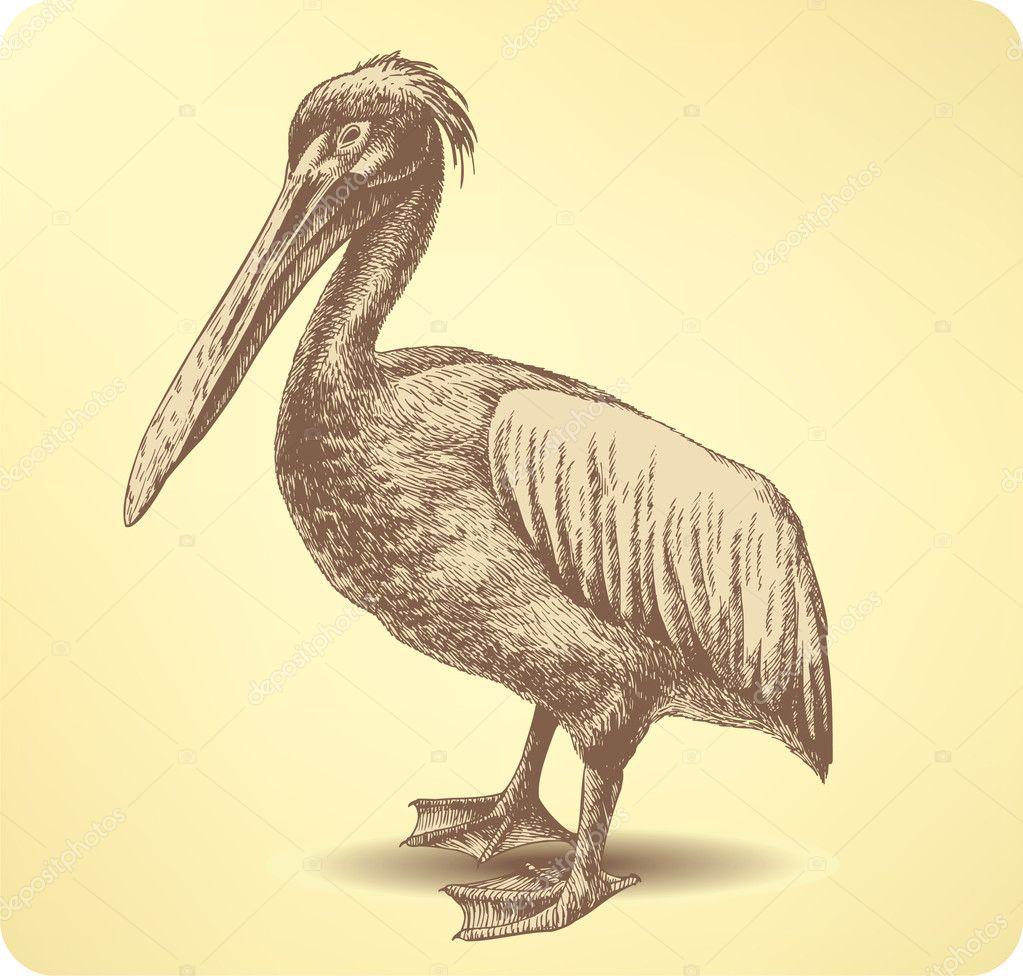 Pelican Bird Hand Drawing Vector Illustration Stock Vector C Mur34 11102242