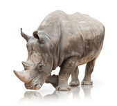 Photo Portrait of a rhinoceros