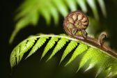 Fényképek Új-Zéland ikonikus páfrány koru