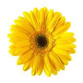 Fotografie žluté sedmikrásky květin, samostatný