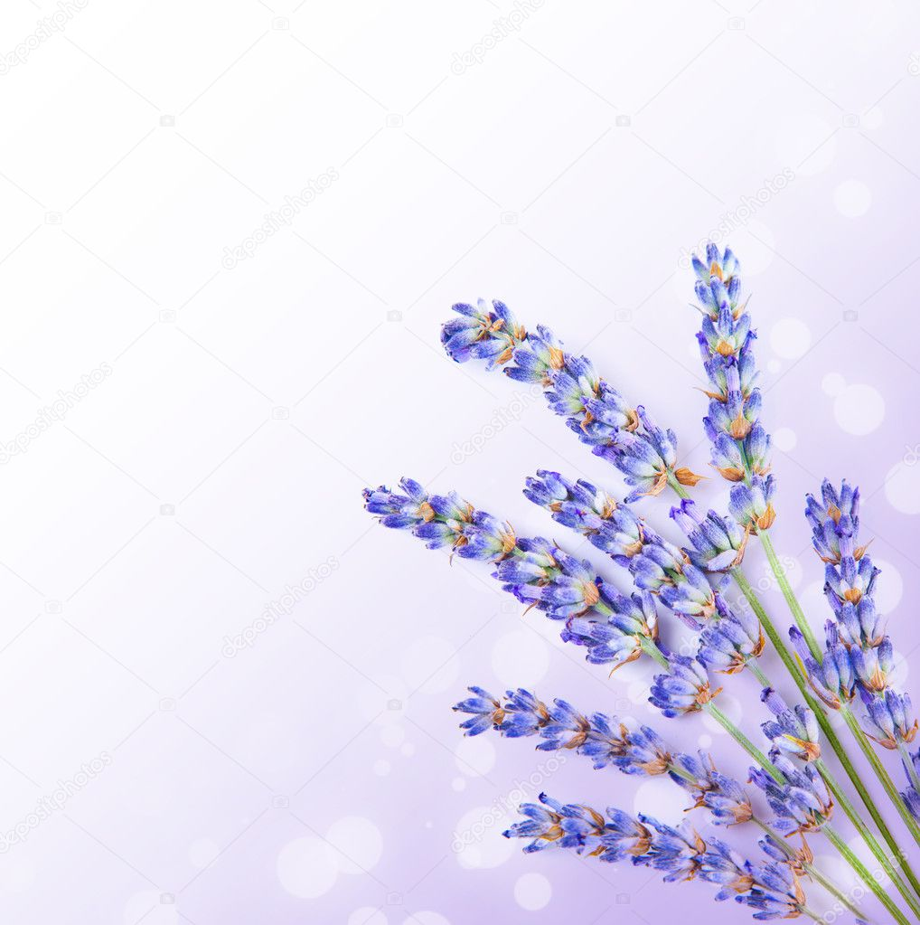 Fresh lavender flowers border