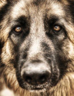 Closeup portrait of german shepherd
