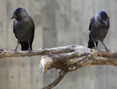 Crows on a branch