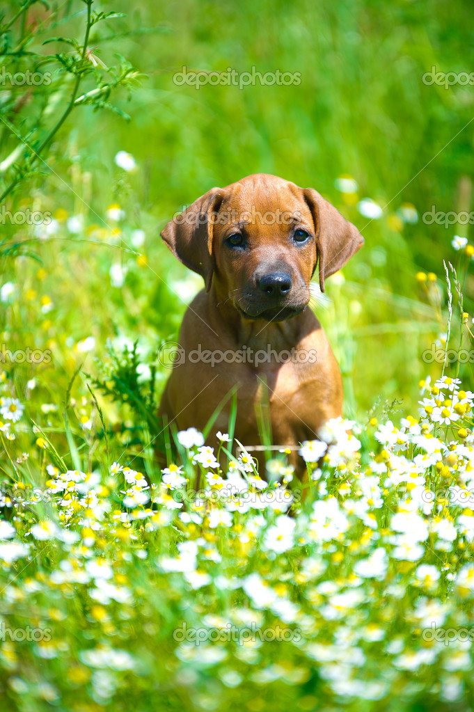 Amazing Rhodesian Ridgeback Black Adorable Dog - depositphotos_10923558-stock-photo-rhodesian-ridgeback-puppy-in-a  Trends_685446  .jpg