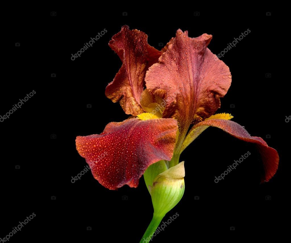 Iris dark beige on a black background