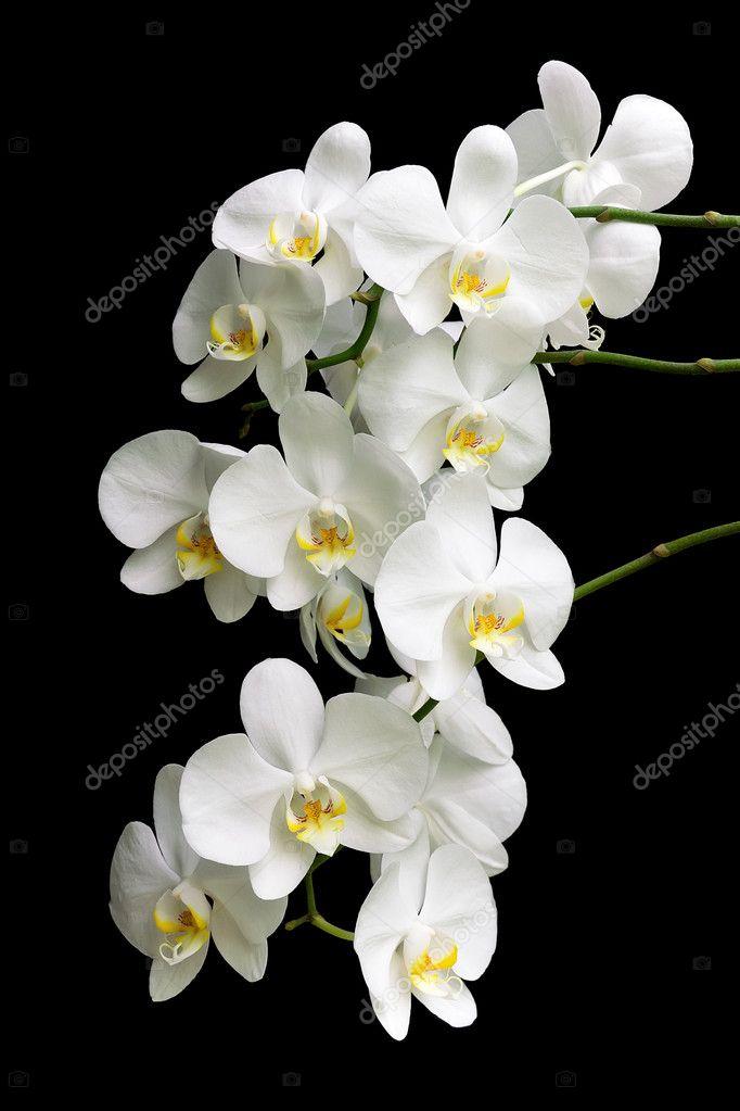 wei e orchidee auf einem schwarzen hintergrund stockfoto. Black Bedroom Furniture Sets. Home Design Ideas