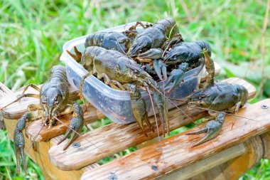 A bunch of live crayfish