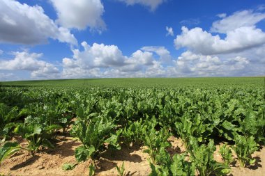 Sugar beet fields in the summer sun