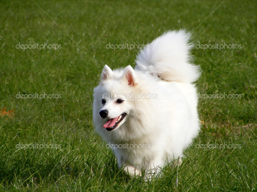 Japanese Spitz Running In The Park Stock Photo C Virgonira 11313821