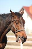 Staré hnědé koně zívání