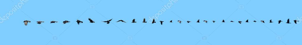 Raven flight sequence.