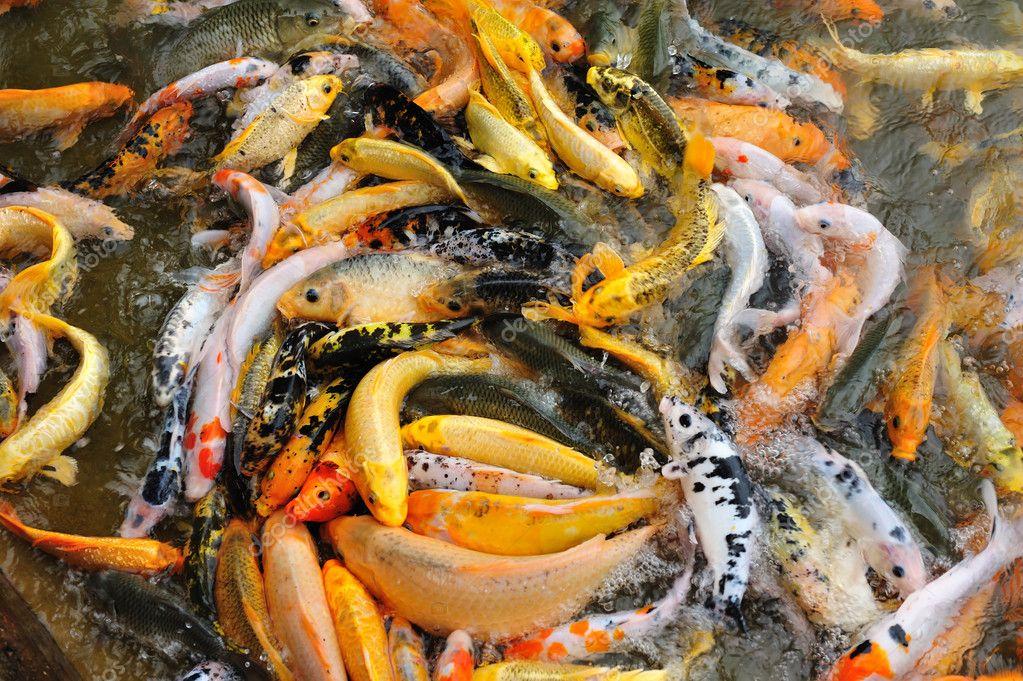 Mierda de pez koi en agua foto de stock shirophoto - Peces koi precio ...
