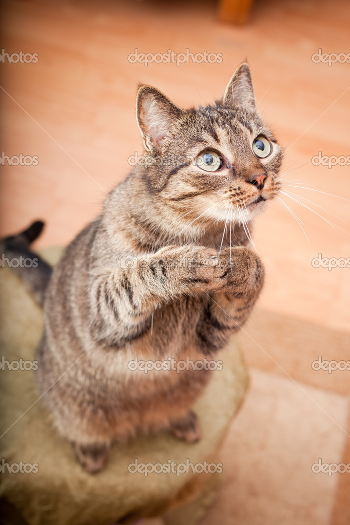 Funny european cat asking for a snack