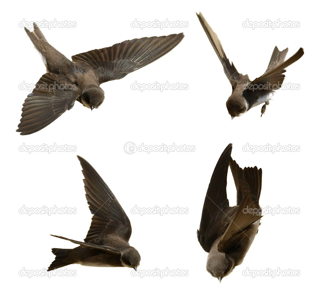 Set Sand Martin, swallow in flight isolated on white