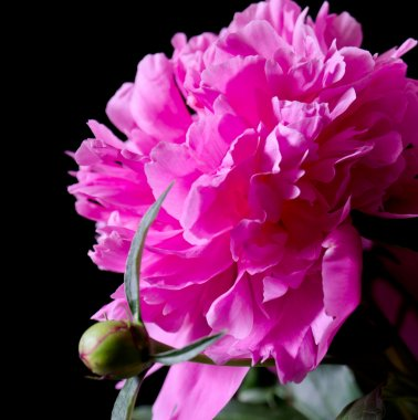 One pink peony flower and bud closeup