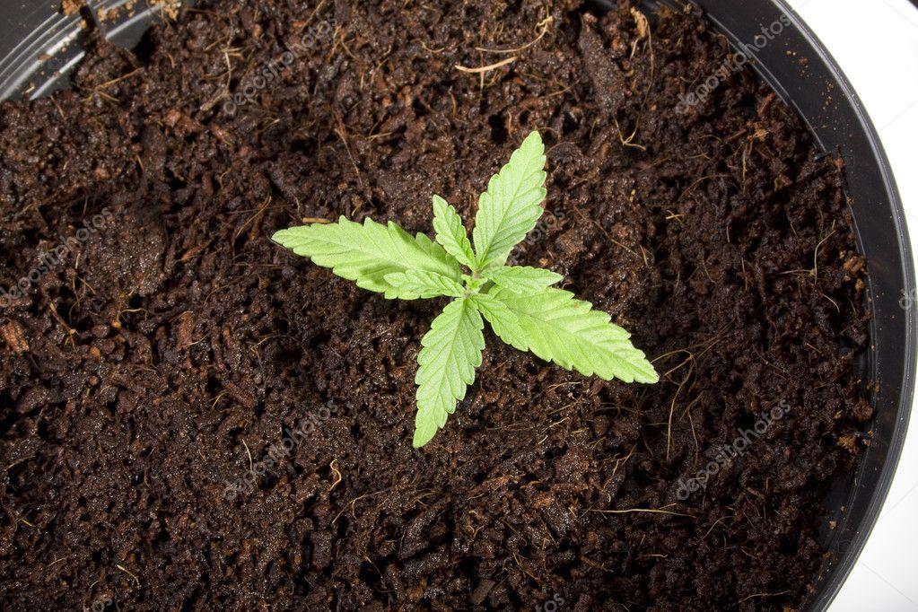 Рост марихуаны по дням конопля семена в украине