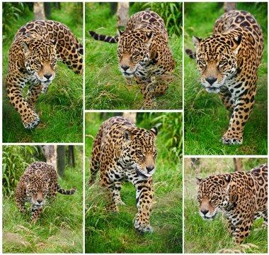 Compilation of six images of Jaguar Panthera Onca big cat
