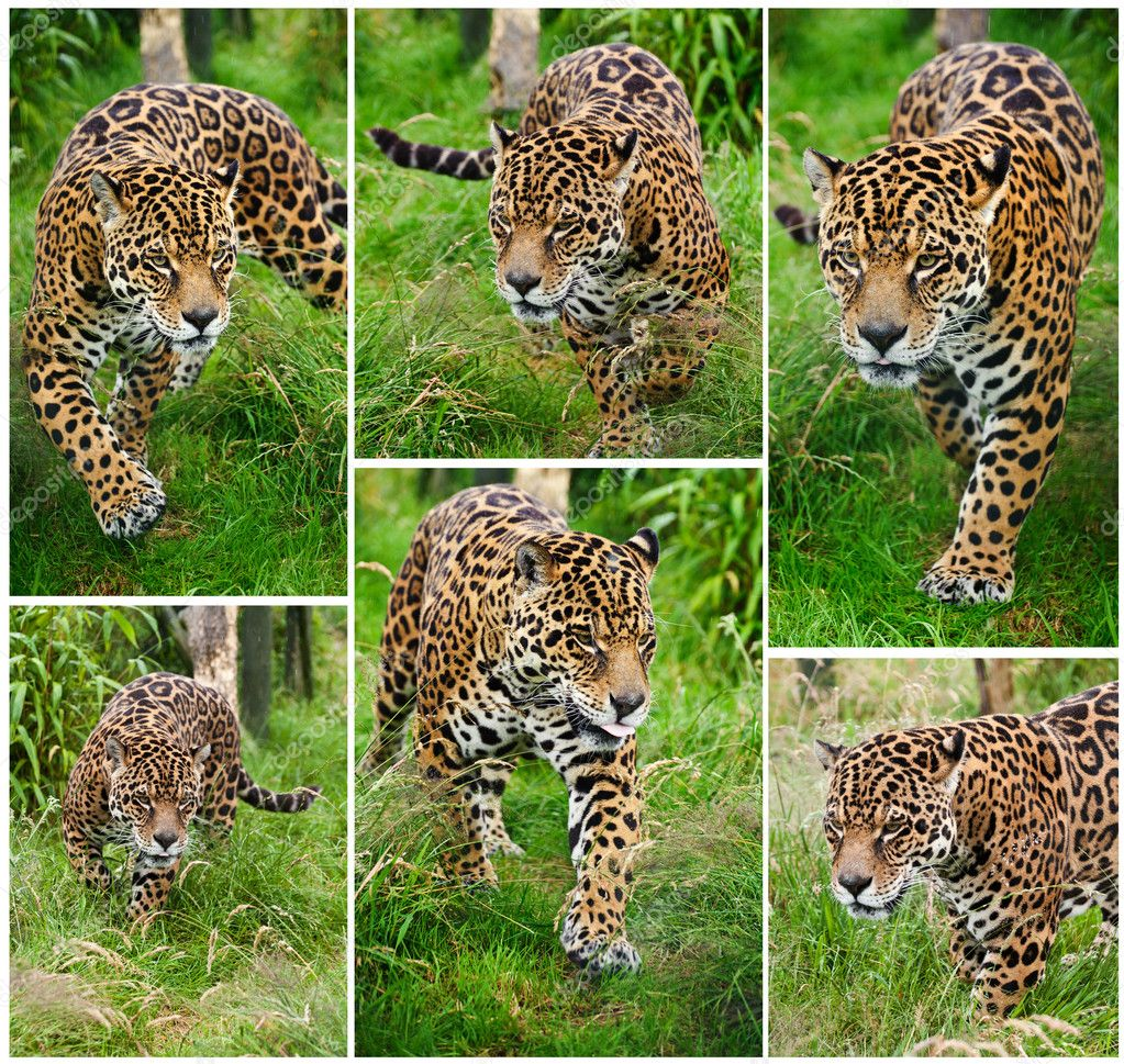 Compilation of six images of Jaguar Panthera Onca big cat