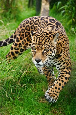 Stunning jaguar Panthera Onca prowling through long grass