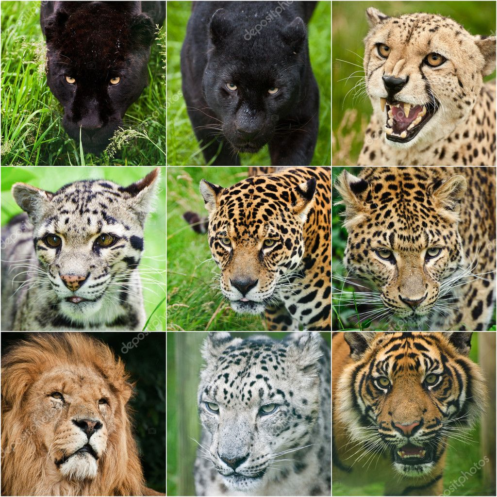 Compilation of portraits of all big cats 9 images