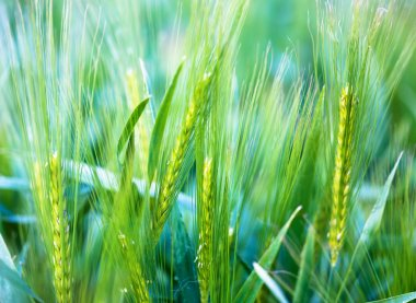 Young wheat - soft background
