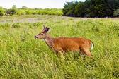 Deer roe