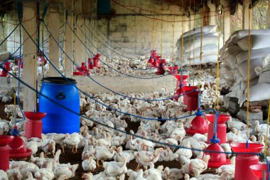 Poultry farm with many domesticated hen(fowl) being grown for th