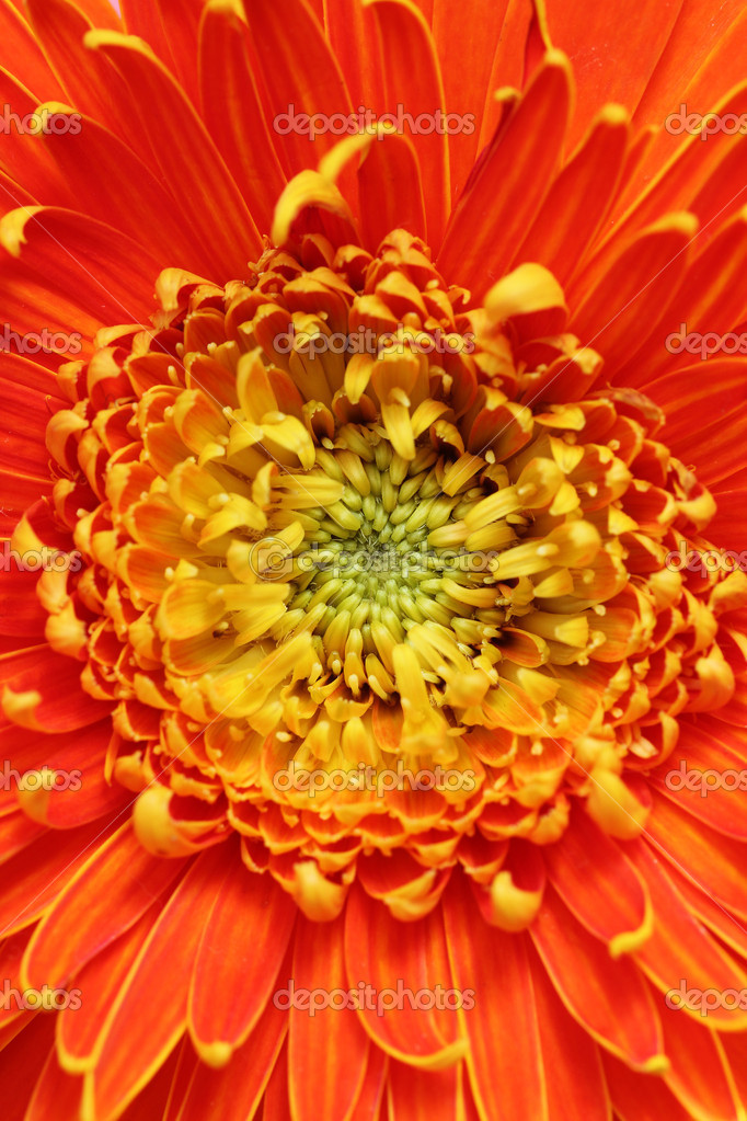 Extreme closeup(macro) photo of beautiful gerbera flower in brig